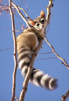 Mammals You've Probably Never Heard Of But Should Bassariscus astutus or ringtail cat isn't actually a cat at all. It's part of the raccoon family.Bassariscus astutus or ringtail cat isn't actually a cat at all. It's part of the raccoon family. Nature Animals, Animals And Pets, Art Nature, Texas Animals, Beautiful Creatures, Animals Beautiful, Beautiful Cats, Cute Baby Animals, Funny Animals