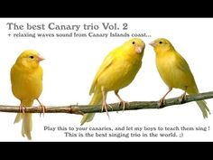 Canary singing - The best Canary trio in the world, canary training Vol. 2 ! - YouTube