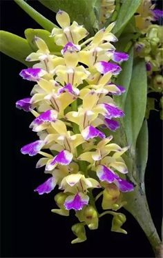Orchid (Aerides houlletiana).