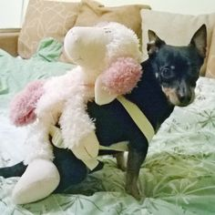 Every Pinscher needs a sheep backpack!