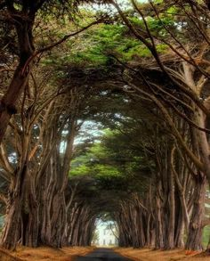Tree lined drive of Cyprus trees on the way to Point Reyes.
