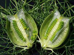 Nigella Sativa fruit pod with unripe seeds