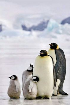 Family of Penguins ♡ Feelin' the Love!