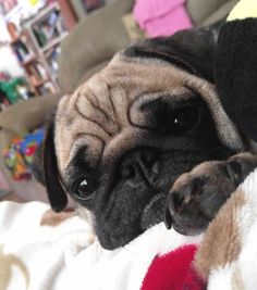 Since Join the Pugs bring the cuteness to Pug lovers all over the world. If you love Pugs. Pug Dogs, Doggies, Dogs And Puppies, Dog Cat, Don Meme, Animal Noses, Pug Photos, Pugs And Kisses, Baby Friends
