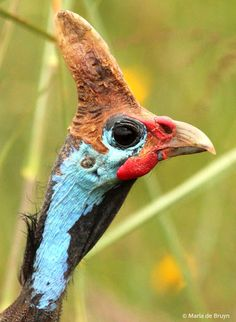 The Helmeted Guineafowl is a large (53–58 cm) bird with a round body and small head.