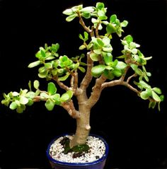 Big cuttings of jade plant (Crassula ovata) are ideal to grow as bonsai. The fat and rough look of the fleshy stems and trunks are ideal for bonsai. Jade Plant Bonsai, Succulent Bonsai, Jade Plants, Bonsai Plants, Planting Succulents, Jade Plant Pruning, Succulent Wall, Cactus Plants, Flowering Bonsai Tree