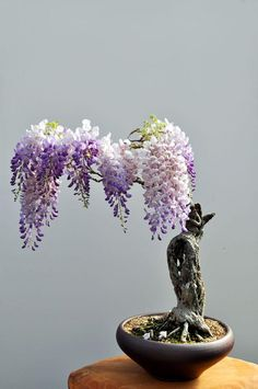 Funny pictures about Beautiful Bonsai Wisteria. Oh, and cool pics about Beautiful Bonsai Wisteria. Also, Beautiful Bonsai Wisteria photos. Wisteria Bonsai, Bonsai Plants, Bonsai Garden, Bonsai Trees, Bonsai Flowers, Garden Plants, Bonsai Forest, Art Flowers, Succulents Garden
