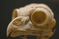 ✯ Owl Skull ✯