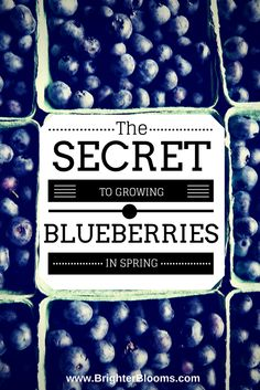 to growing delicious in the Blueberry Bush Care, Blueberry Season, Blueberry Bushes, Fruits And Veggies, Vegetables, Growing Blueberries, My Secret Garden, Gardening Tips, Spring