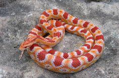 Reverse Okeetee Corn Snake.