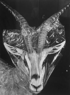 Robertsi Gazelle fr. the Kenya's Serrengetti covered in cellophane by its  taxidermist while in storage at the American Museum of Natural History.