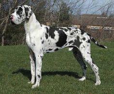 El gran danés o dogo alemán es una raza de perro catalogados como gigantes. El gran danes es uno de esos perros difíciles de manejar por su gran tamaño. Aprende todo lo que necesitas saber sobre el dogo alemán.
