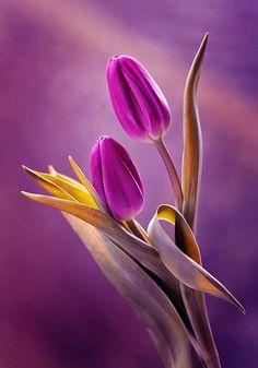 ♥ ~ Shades of Purple Flora ~ ♥ Purple Tulips | Backyards Click