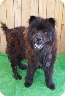 Vixen Catahoula Leopard/Chow Chow mix found in Texas