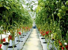 Agri blues! Time to go green.  Tomatoes, nice product.