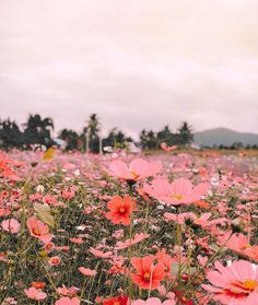 Finding the most inspiration in this incredible photo that posted in dspink - this dreamy flower field in Thailand is all my… 266345765449537465 Spring Aesthetic, Nature Aesthetic, Flower Aesthetic, Aesthetic Vintage, Aesthetic Backgrounds, Aesthetic Wallpapers, Pretty Pictures, Beautiful Landscapes, Flower Power