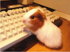 Baby guinea pig learning how to type. Diy Guinea Pig Cage, Baby Guinea Pigs, Cute Funny Animals, Cute Baby Animals, Animals And Pets, Baby Animals Pictures, Cute Animal Pictures, Guniea Pig, Cute Piggies