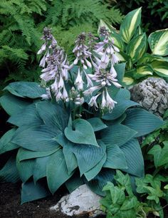 Hosta 'Halcyon' is a beautiful hosta with blue heart-shaped leaves with heavy ribbling. Terrace Garden, Garden Plants, Hosta Halcyon, Plantain Lily, Shade Plants, Home Living, Planting, Gardening, Perennials