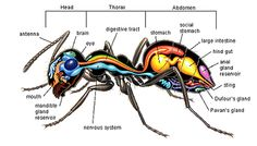 Anatomy of an ant