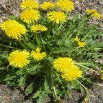 Parece uma erva daninha, mas na verdade esta planta faz milagres! Sabe que planta é?
