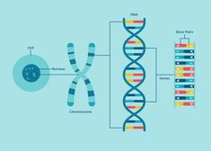 Genetics Understanding the basics of genetics - Color Biology Art, Biology Lessons, Science Biology, Science Art, Science Projects, Human Dna, Human Genome, Maurice Wilkins, Genetic Counseling