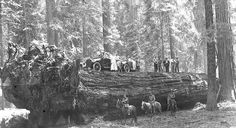 The Auto Log fell in February of 1917. Two years after the tree had fallen, the park built a road so that motorists could drive their vehicles on this giant sequoia tree. Today, you can visit this historic area on foot. The wood cannot withstand the weight of present time vehicles and the parks no longer encourage these sorts of activities.