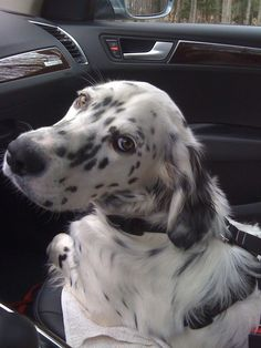 Lizzie (English Setter) riding in the car with her new harness.