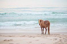 Wild Assateague Pony - Natalie Buck Photography 'Untamed Beauties'