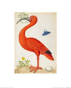 Maria Sibylla Merian Prints by AllPosters.co.uk  40 x 50cm £14.99