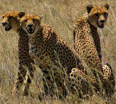 Tanzania Serengeti -Cheeta Brothers
