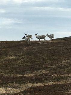 """Reinen som beiter utenfor hytta vår """"Rabben"""""""