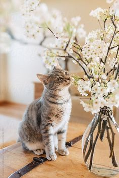 Cat Care Keeping Your Cat Healthy and Your Home Clean Kittens Playing, Cute Kittens, Cats And Kittens, I Love Cats, Crazy Cats, Cool Cats, Chat Maine Coon, Cat Flowers, Gatos Cats