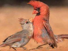 Pretty Birds, Beautiful Birds, Animals Beautiful, Cute Animals, Small Birds, Colorful Birds, Little Birds, Exotic Birds, Northern Cardinal