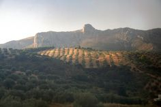 Morning sun on olive groves in Andalucia, Spain.