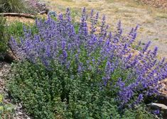 NOT NATIVE to California Nepeta Six Hills Giant catmint Loves sun. Low water. 1' x 1' Blue flowers Spring-Fall Prefers 6.0-6.6 pH, but is adaptable and works well with a variety of soils. Can be invasive.
