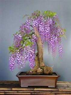 Wisteria bonsai.