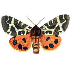 Free Vintage Clip Art - Orange Butterflies for Halloween - The Graphics Fairy
