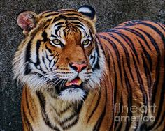 Amazing capture of a Siberian Tiger, Tessa! This is one of the best detailed shots available on this website (FineArtAmerica.com), no doubt! Fave!