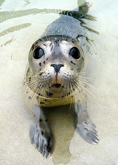 Kiotari, Pacific Harbor Seal pup rescued 5/1/10 @ Fitzgerald Marine Reserve, San Mateo. Separated from her mother shortly after birth. Treated for flipper trauma, umbilical infection & malnourishment. Released 7/24 @ Point Reyes after gaining > 10kg. Spot patterns on Pacific Harbor Seals are unique to a particular individual. Permission granted to copy, distribute and/or modify image ONLY if photo credited to Aaron J Cohen AND the Marine Mammal Center (MMC).