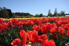 Tesselaar Tulip Festival, Victoria, Australia