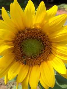 Sunflower with a bee on it