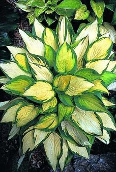 Orange Marmalade Hosta - One of the only orange hostas; it will make your shade garden really stand out! by Hercio Dias