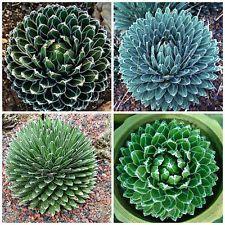 50 semillas de agave reginae victoriae, plantas suculentas,seed S