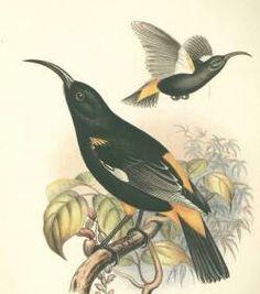 Mamo Bird
