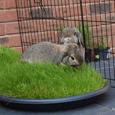 Tray of Grass for bunnies!: