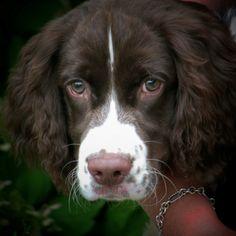 Hershey, the best Springer Spaniel ever!