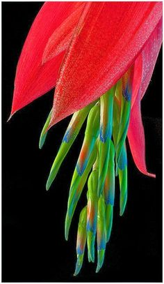 Queen's Tears (Billbergia Nutans) Billbergia nutans is an epiphytic bromeliad native to Brazil, Paraguay, Uruguay, and Argentina. This plant is often used as an ornamental plant, and it is probably one of the most common bromeliads grown. Unusual Flowers, Unusual Plants, Rare Flowers, Exotic Plants, Amazing Flowers, Beautiful Flowers, Lilies Flowers, Strange Flowers, Rare Orchids