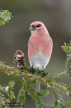 The Pine Grosbeak (Pinicola enucleator) is a large member of the true finch family, Fringillidae. It is found in coniferous woods across Alaska, the western mountains of the United States, Canada, and in subarctic Fennoscandia and Siberia
