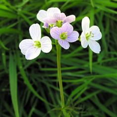 The Cuckoo Flower or Lady's Smock is an elegant flower. The plant is 20-50cm in height with narrow long leaves and will produce 2 or 3 pink or white flowers on each stem in late spring/early summer.