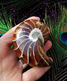 Beautiful  Ammonite fossil,  by LunaBlueBoutique, $88.00